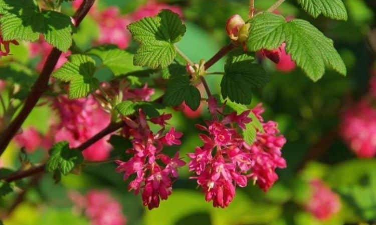Blood Red Currant