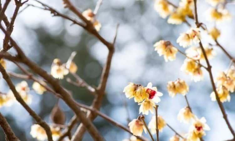 Chinese Winter Flowering