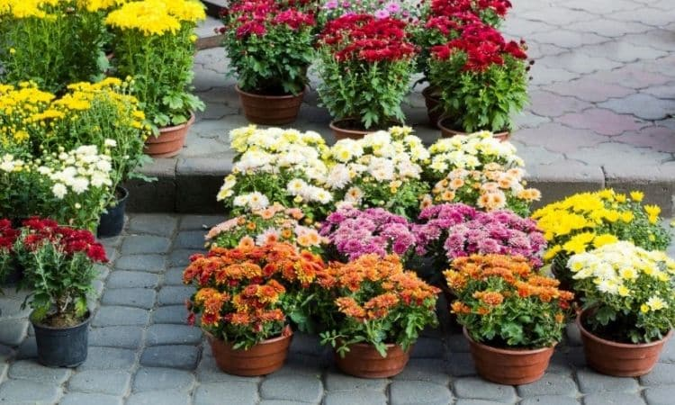 Chrysanthemums are grown in pots for home decoration