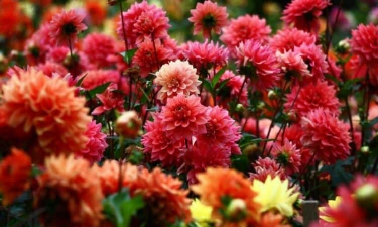 Dahlias belong to the so-called heavy eaters, because they have a high need for nutrients