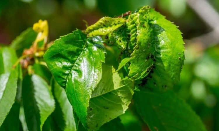 Deformed leaves are a common sign of aphid infestation