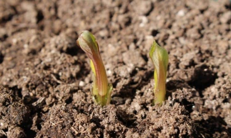 Every year in spring, when the perennials sprout again, the time has come to fertilize