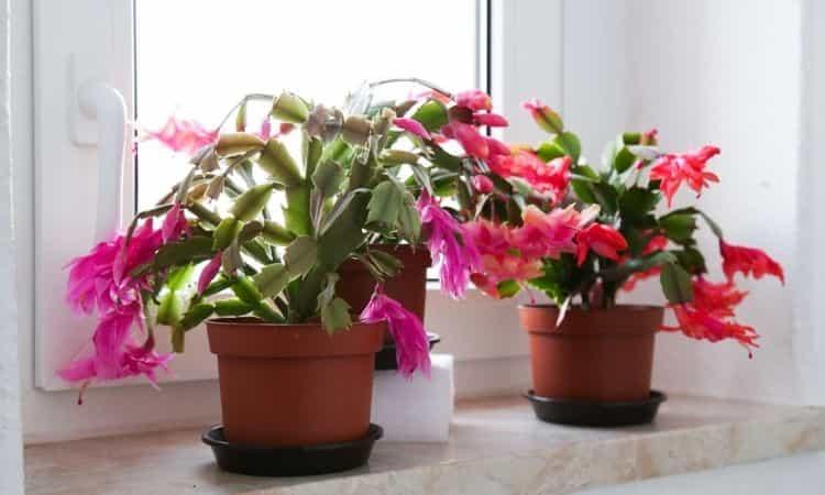 Factors influencing the christmas cactus blossom