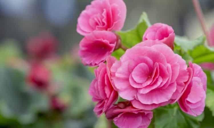 Fertilize Camellia