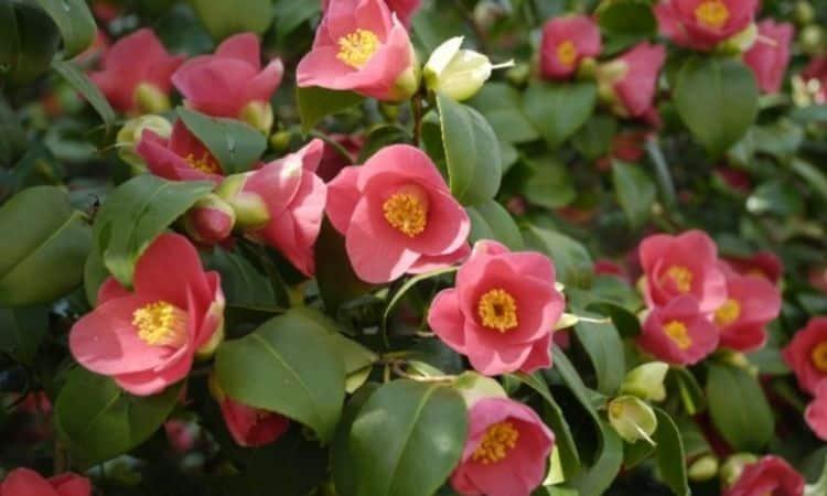 Fertilize Camellia Mainly Organically