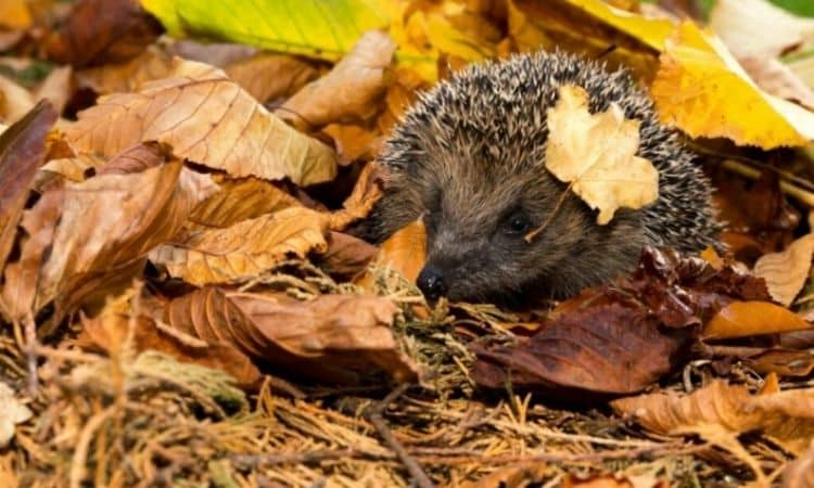 Foliage and brushwood serve hedgehogs as shelter in the winter