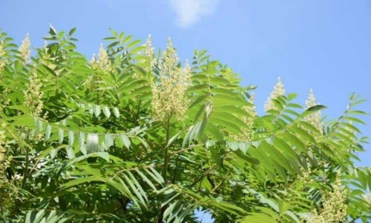 From June to July, the inconspicuous green flowers of the vinegar tree, which attract many bees