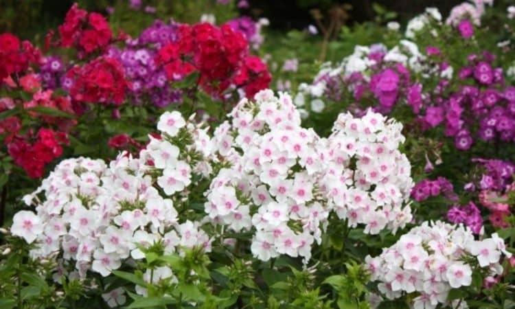 Garden Phlox (Phlox Paniculate)