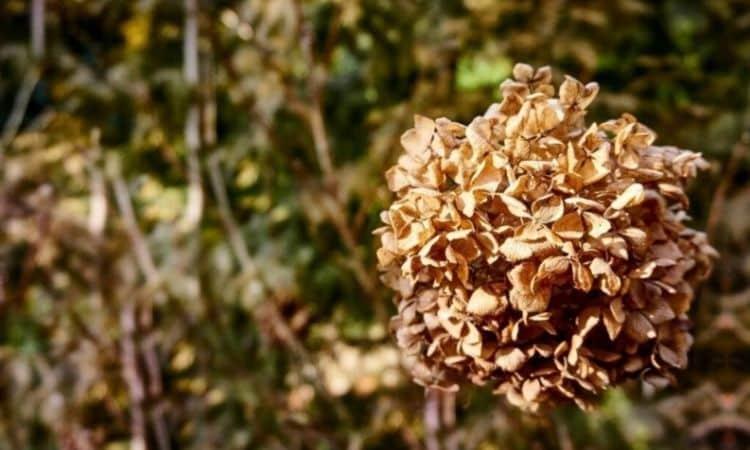 Garden hydrangeas are hardy in our latitudes