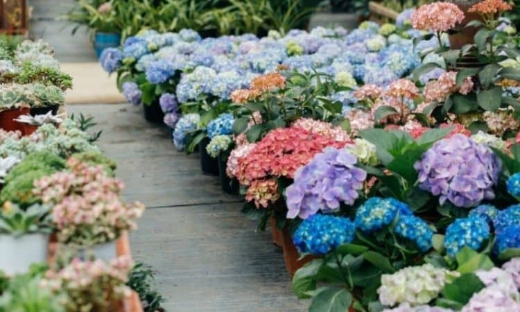 Garden hydrangeas are offered in many different colors