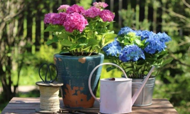 Garden hydrangeas can be planted in the garden as well as in a pot on the terrace or balcony