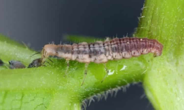Here you can see a lacewing larva eating an aphid
