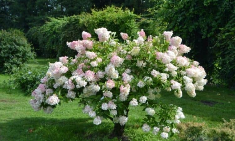 It is also possible to raise the panicle hydrangea to a high trunk