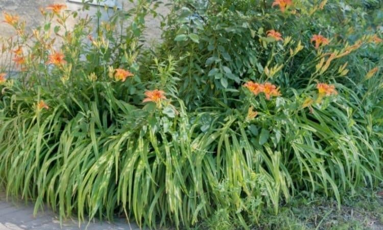 Lilies are forest plants and feel most comfortable in a semi-shady location