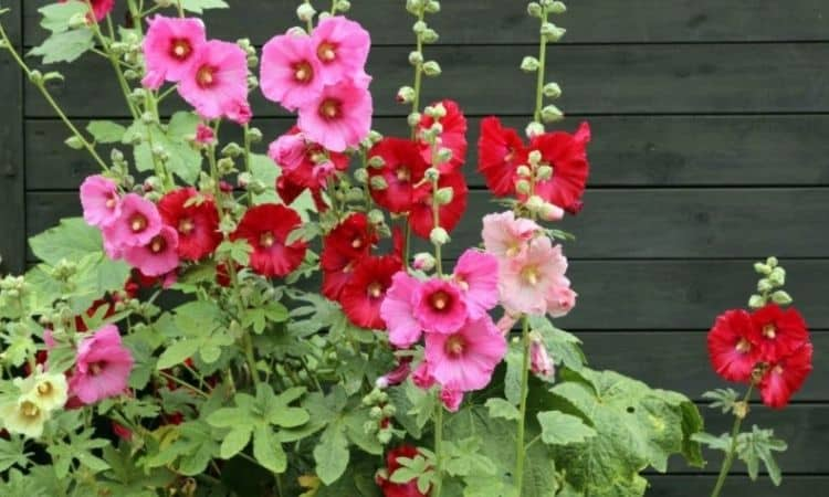 Mallow Flowers (Malva Alcea)