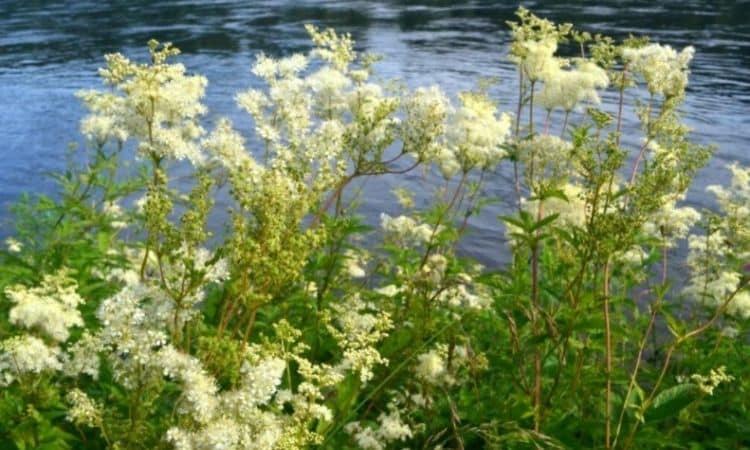 Meadowsweet prefers humid, nutrient-rich locations near water