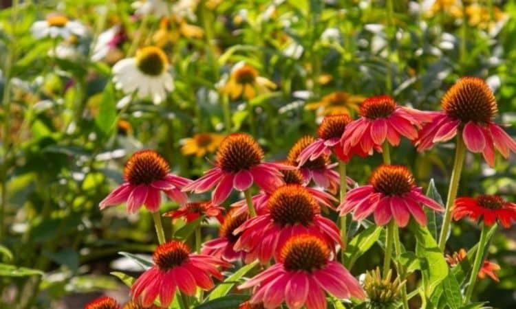 Perennials love soil with high humus content