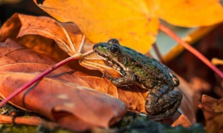 Piles of leaves are an ideal winter home for toads