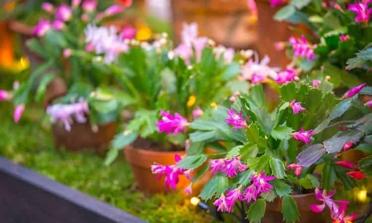 Pink flowers on Christmas cactus