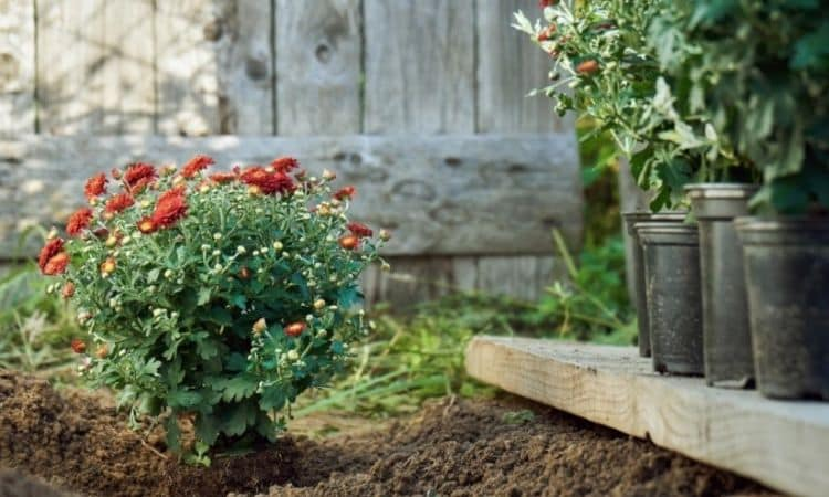 Planting chrysanthemum
