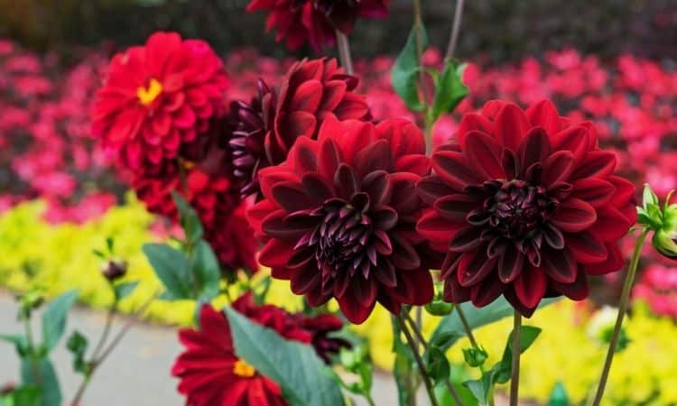 Red Dahlias Arabian night in the garden