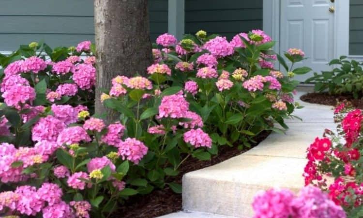 Rose Hydrangea Planting