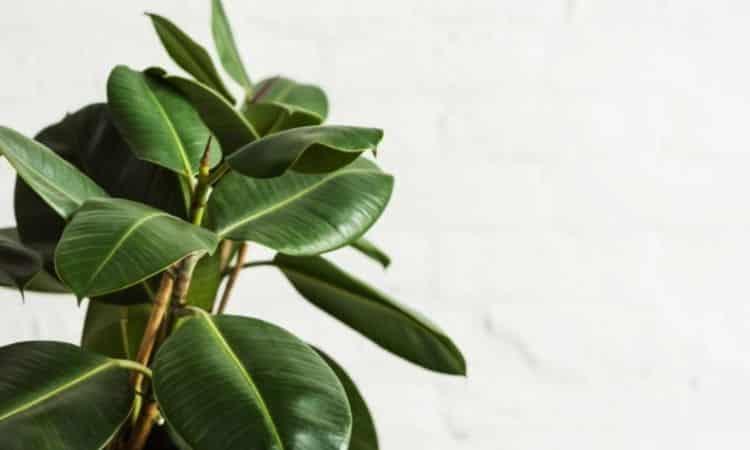 Rubber Tree (Ficus elastica)
