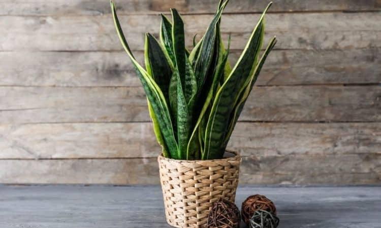 Snake Plant in Pot