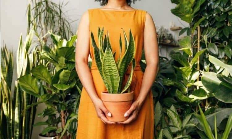 Snake Plant with woman