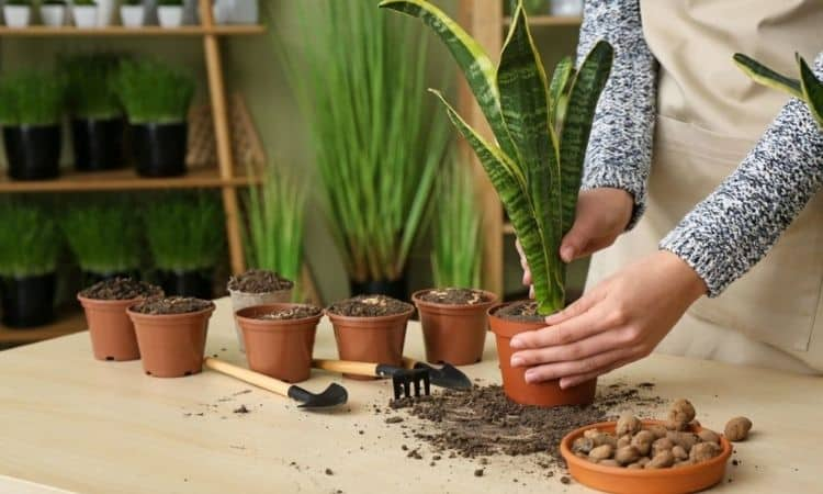Snake plants Planting