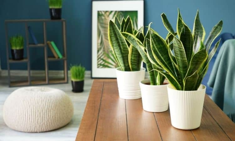 Snake plants on table