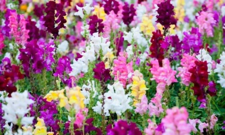 Snapdragon Flower (Antirrhinum)