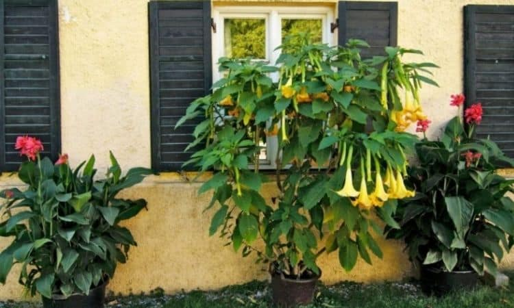 Somewhat protected by a roof or on the house wall, the Brugmansia feels particularly comfortable