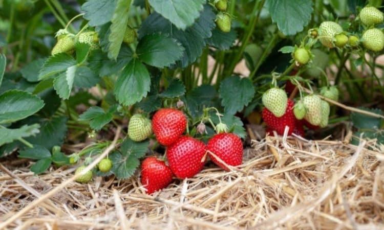 Straw for mulching strawsberrys bush