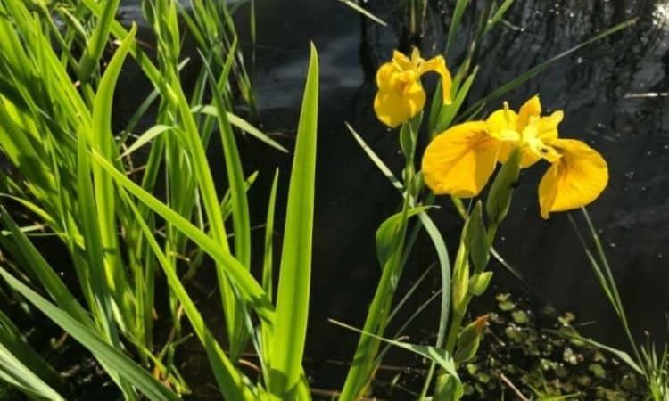 Swamp irises feel well in the edge area of garden ponds