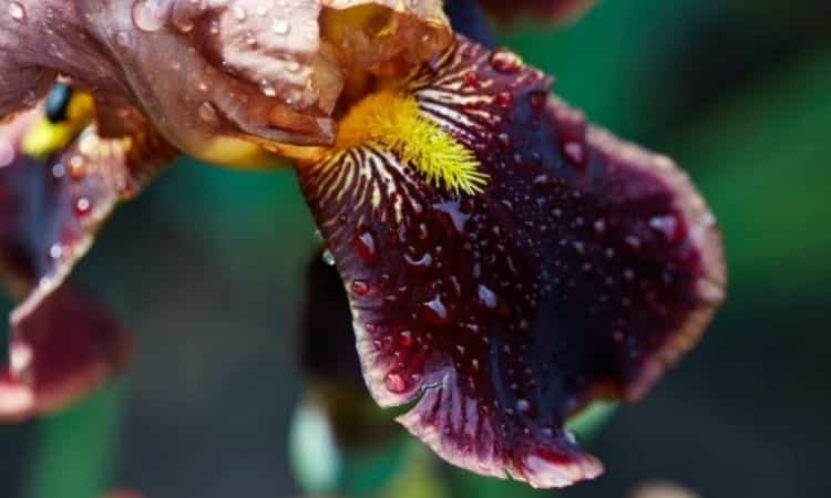 The Beard Iris is easily recognized by the brush-like formations above its hanging leaves