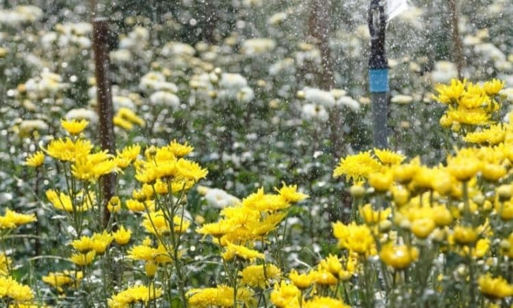The Chrysanthemums are quite water-loving