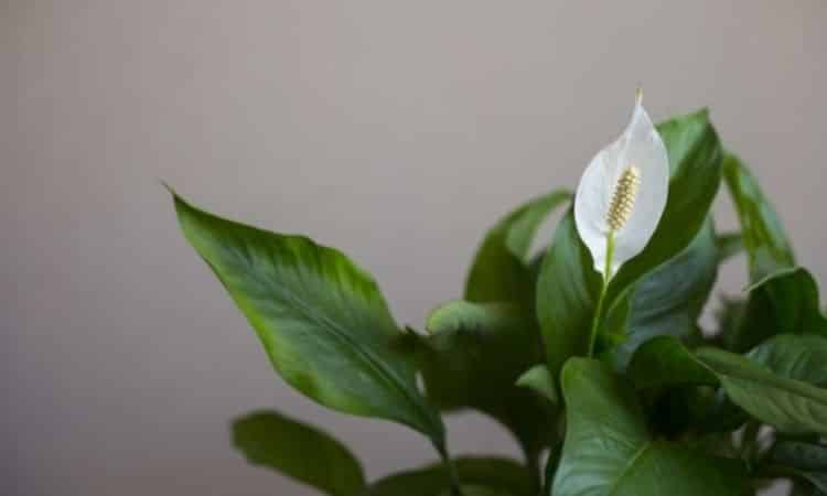 The Peace Lily can filter numerous toxins such as benzene and formaldehyde from the air in the room