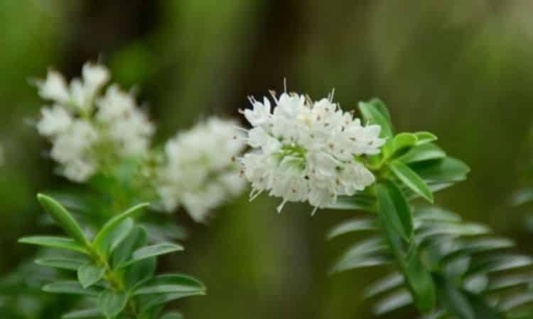 The cinnamon alder exudes a magical vanilla scent
