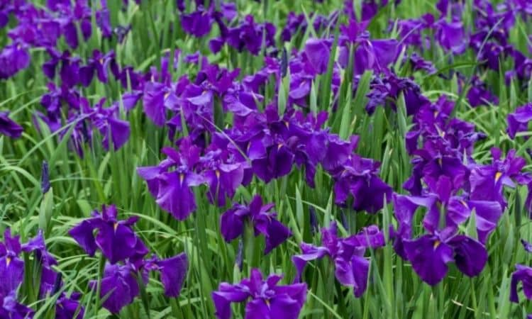 The color scale of the Japanese swamp iris includes all shades of purple and purple as well as white and blue