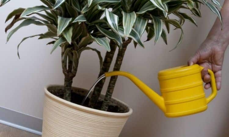 The dragon tree should be watered regularly