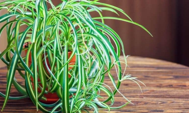 The easy-care green lily cleans the air in the office