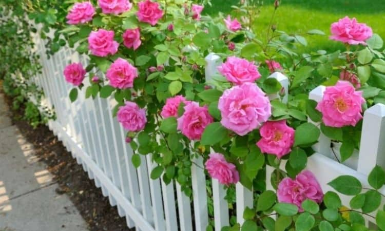 The fence, twisted by roses