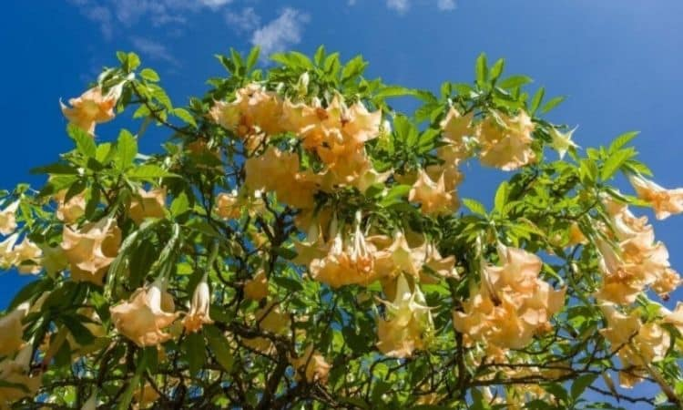 The flower color of Brugmansia suaveolens is quite variable