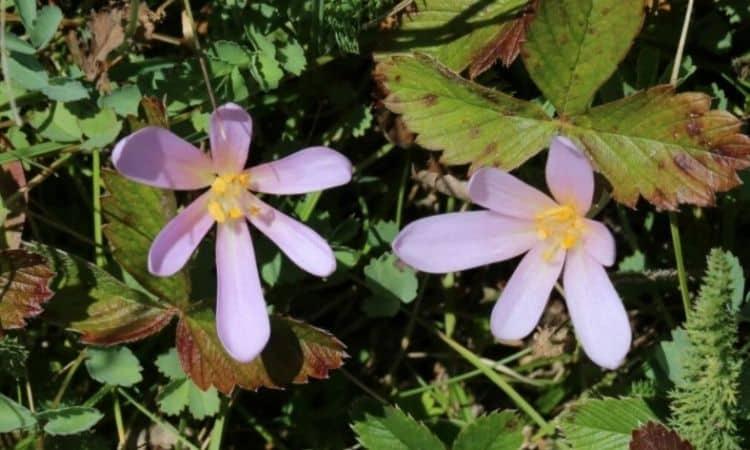 The flowers consist of six pale violet petals