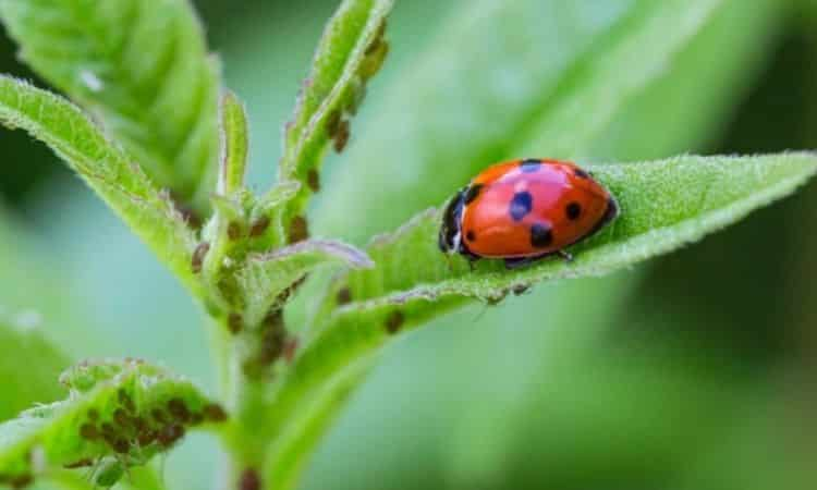 The ladybug is probably the best known beneficial insect against aphids