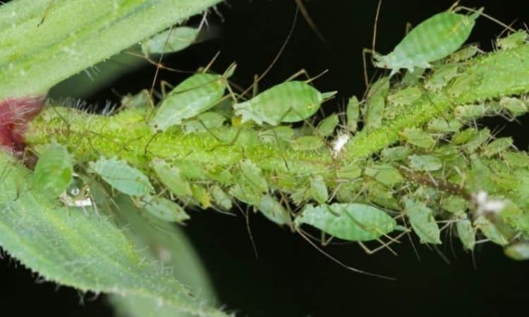 The pea aphid is mainly found on legumes