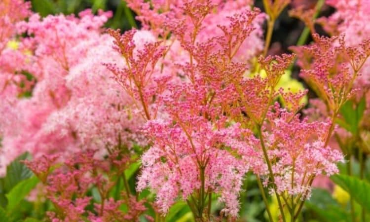 The pink meadowsweet captivates with its pinkish red flower color