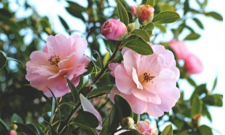 The right fertilizer camellia