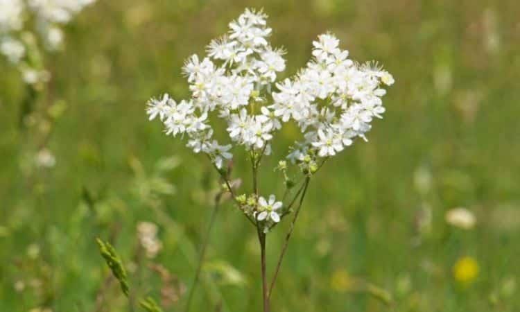 The small meadowsweet has clearly bigger flowers than Filipendula ulmaria